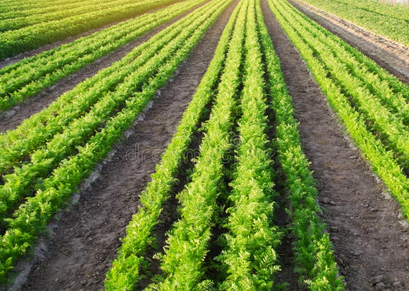 Carrot plantations are grown in the field. Vegetable rows. Organic vegetables. Landscape agriculture. Farming Farm. Selective. Focus stock images