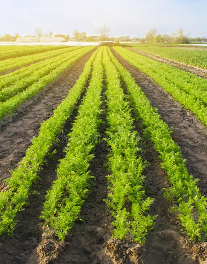 Carrot plantations are grown in the field. Vegetable rows. Organic vegetables. Landscape agriculture. Farming Farm. Selective focus stock photo