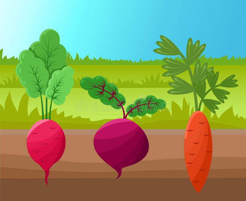 Carrot Radish and Beetroot Vector Illustration. Healthy agricultures planted into soil, green grass, set of roots with tasty shoots on top, cute icons vector illustration