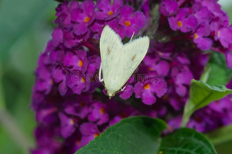 Carrot Seed Moth - Sitochroa palealis. A native of Europe and introduced to North America, a Carrot Seed Moth collects nectar from a purple Butterfly Bush flower royalty free stock photo