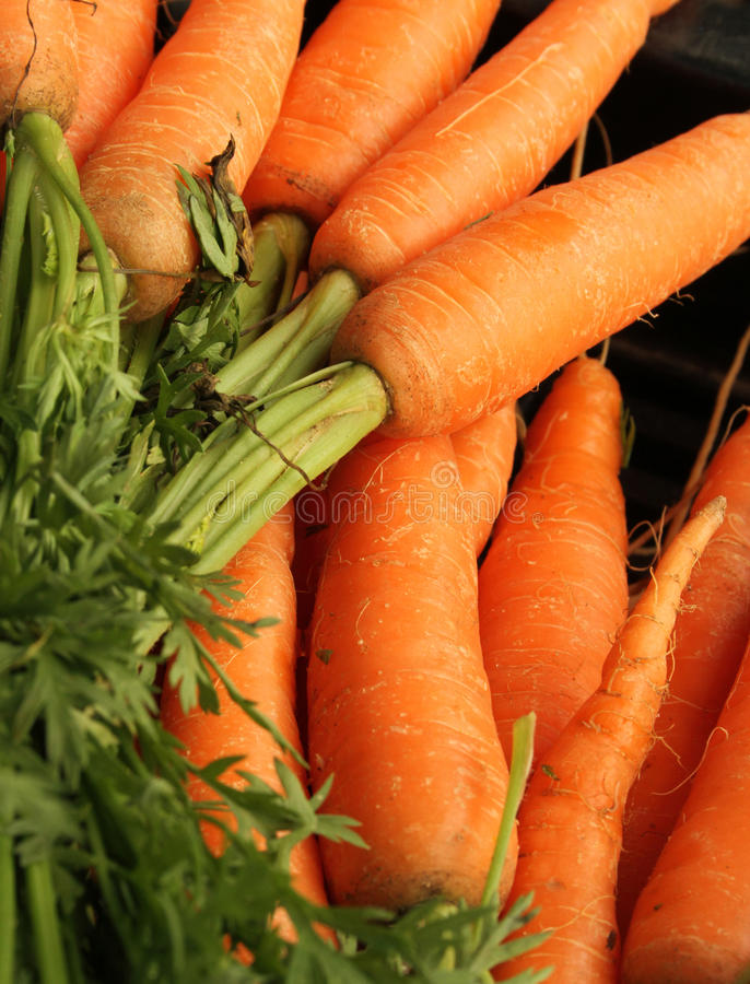 Carrot tops. Fresh organic carrots with green tops in an artistic bunch with a shallow depth of field royalty free stock images