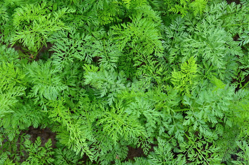 Carrot tops stock images