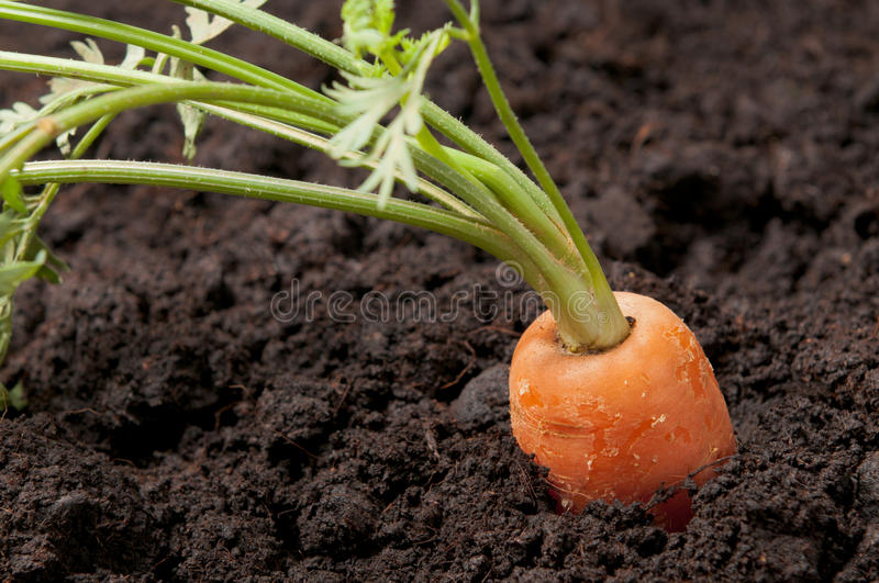 Carrot vegetable gardening royalty free stock photography
