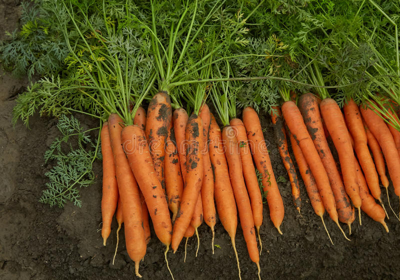 Carrots on the bed. The carrots which are grown up on beds stock images