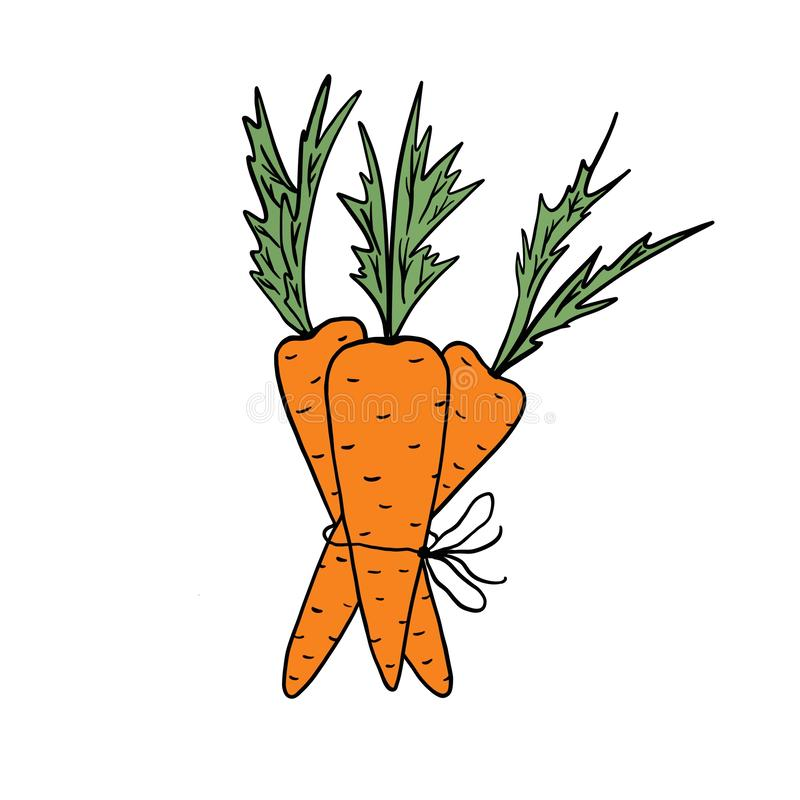 Carrots. A bunch of three orange carrots tied with string on a white background. stock illustration