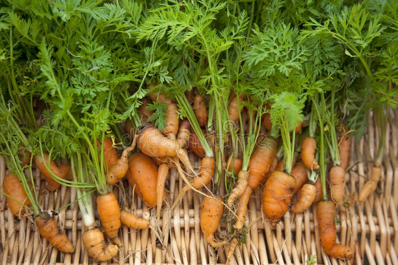 Carrots freshly dug and out of shape royalty free stock photos