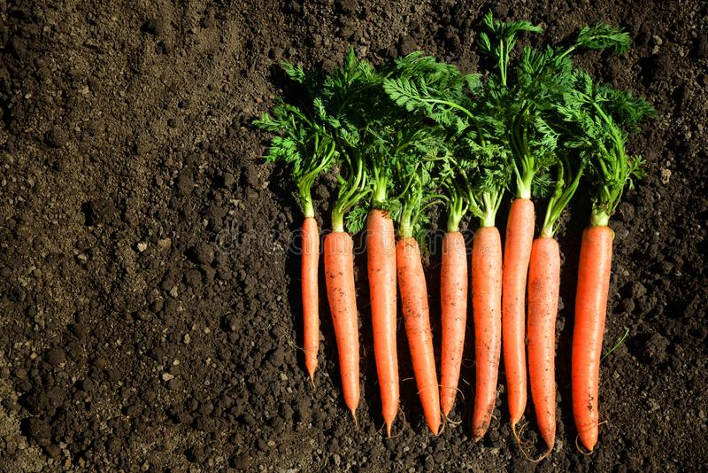 Carrots with green leaves on a soil. stock photo