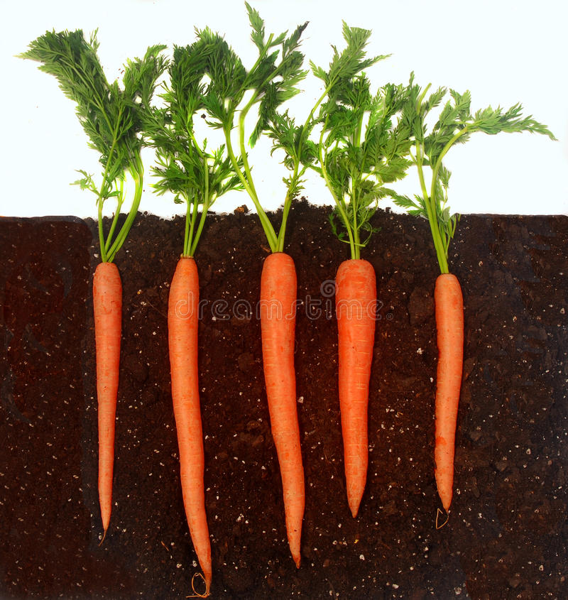 Free Carrots Growing In Soil Royalty Free Stock Image - 13786286