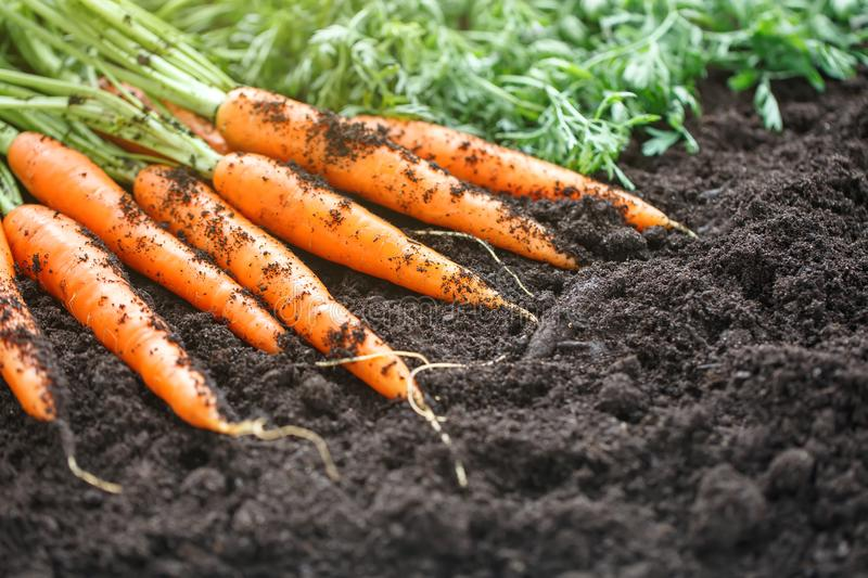 Carrots picking in garden. Carrots on garden ground. Harvest. Agriculture. stock photos