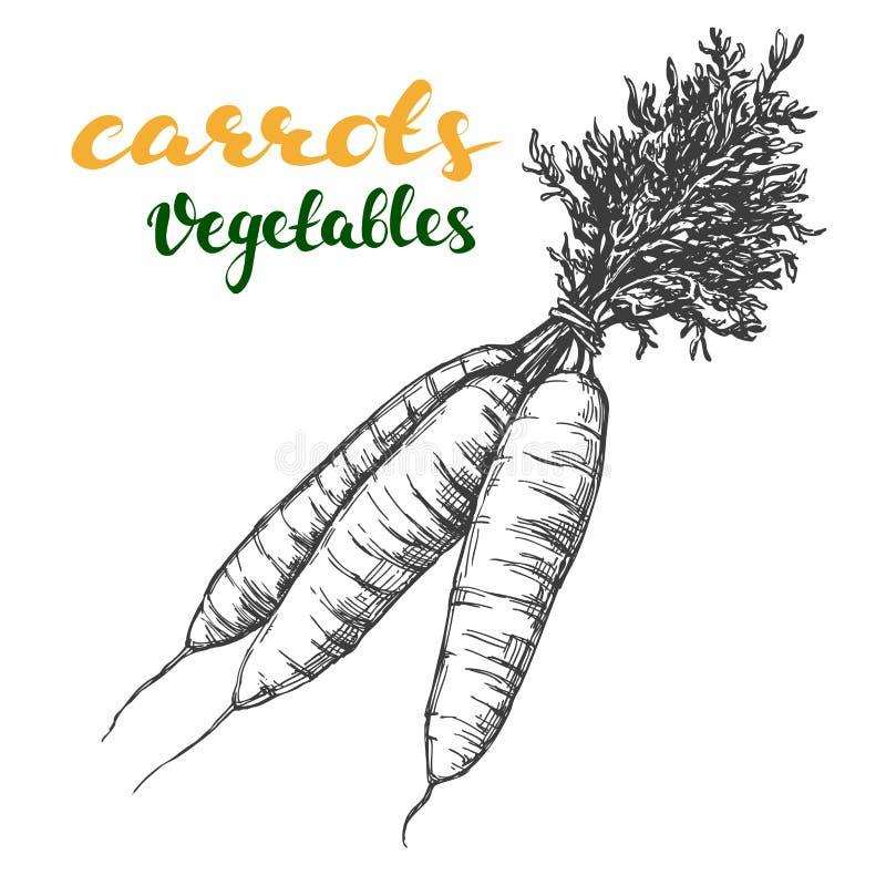 Carrots vegetable set hand drawn vector illustration realistic sketch. Carrots vegetable set hand drawn vector illustration sketch royalty free illustration