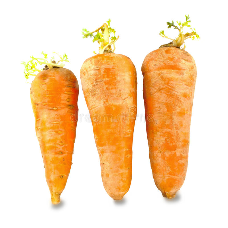 Carrots with young sprouts, harvest the previous year. Isolated object stock image
