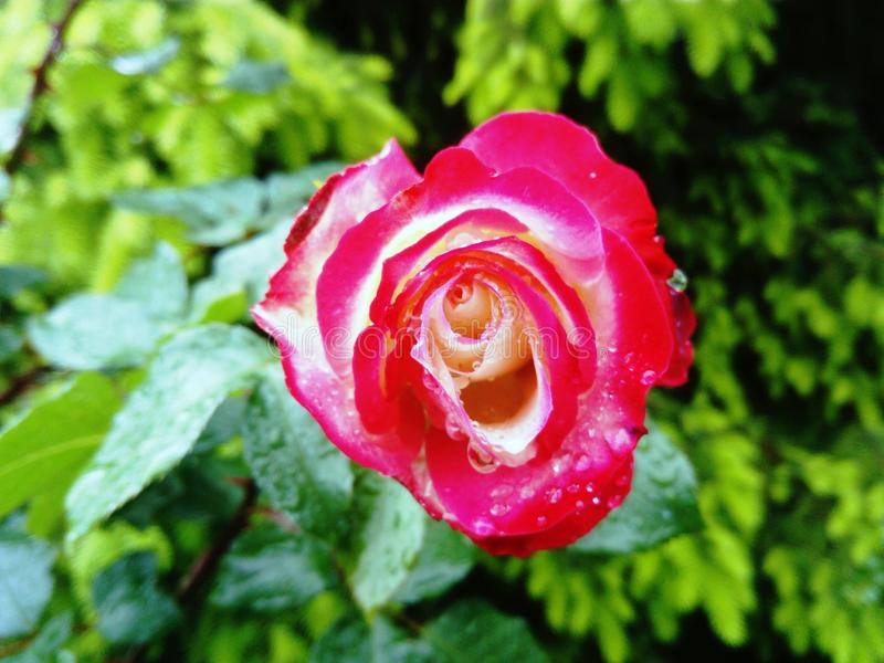 Carrousel rose after rain royalty free stock image