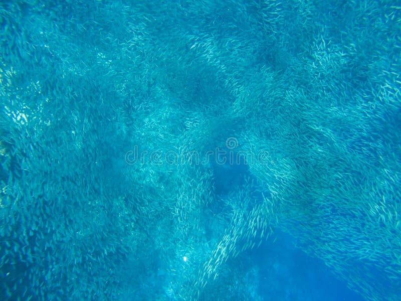 Carrusel masivo de la sardina en agua del mar abierto Los pequeños pescados enseñan la foto subacuática Natación pelágica de la e imagen de archivo libre de regalías