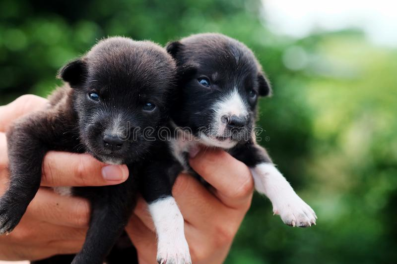 Carry poor black breed puppy of Thailand with human big hand. Have some space for write wording stock photography