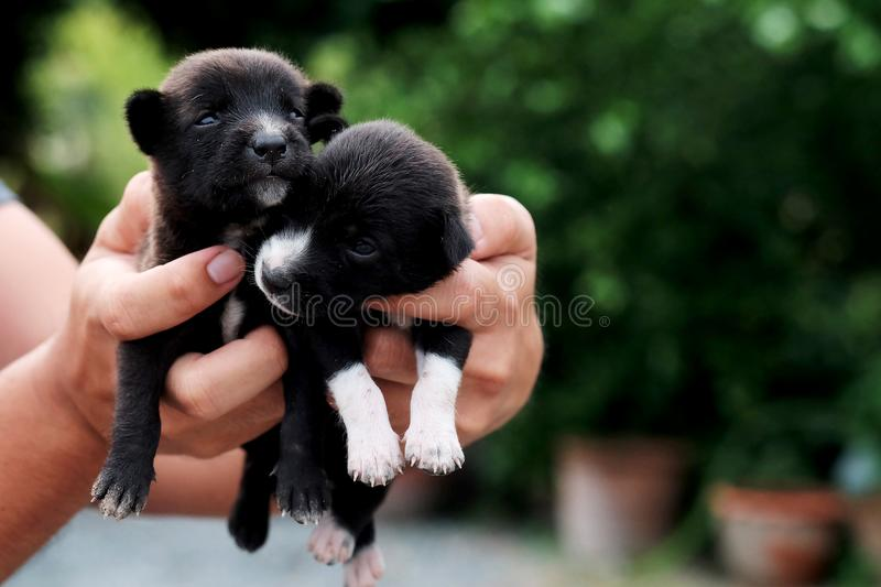 Carry poor black breed puppy of Thailand with human big hand. Have some space for write wording royalty free stock photography