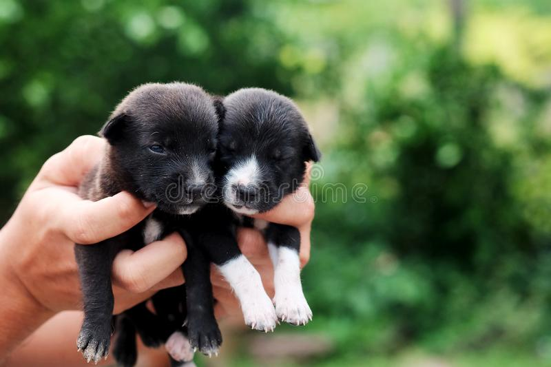 Carry poor black breed puppy of Thailand with human big hand. Have some space for write wording stock images