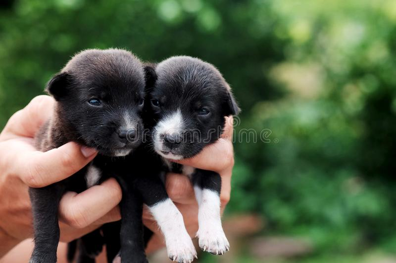 Carry poor black breed puppy of Thailand with human big hand. Have some space for write wording stock image