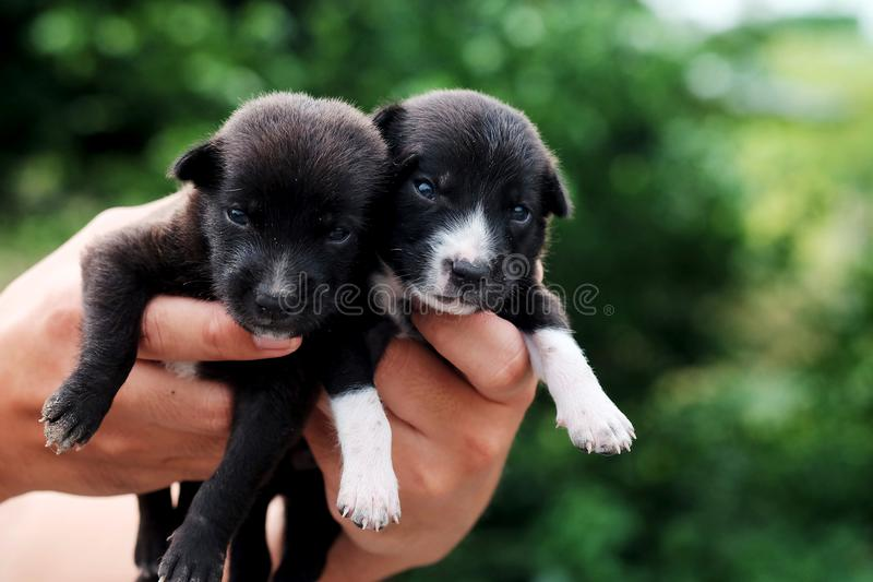 Carry poor black breed puppy of Thailand with human big hand. Have some space for write wording stock photos