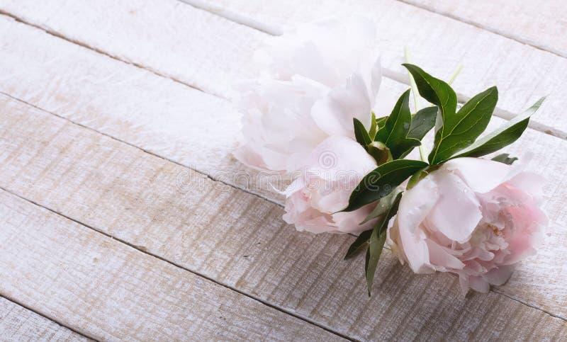 Cartão com as flores frescas da peônia fotografia de stock royalty free