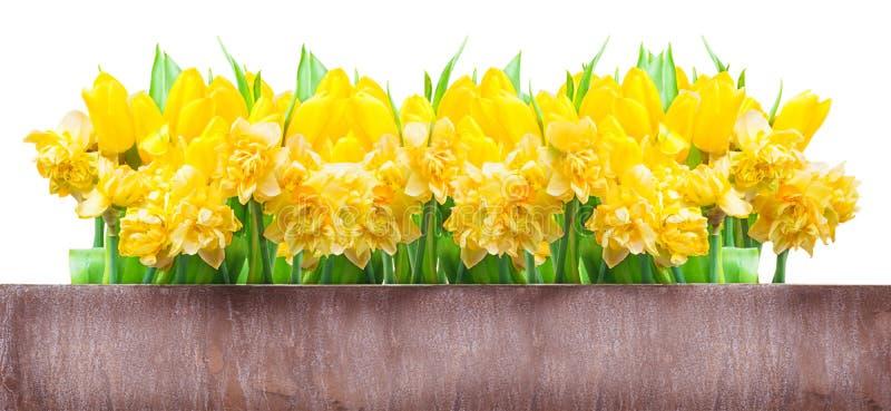 Cartão de Páscoa, narcisos amarelos, tulipas imagem de stock royalty free
