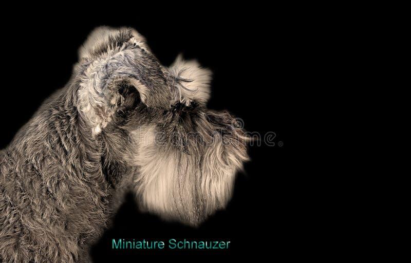 Cartão do cão do schnauzer diminuto da pedigree isolado no preto imagens de stock royalty free