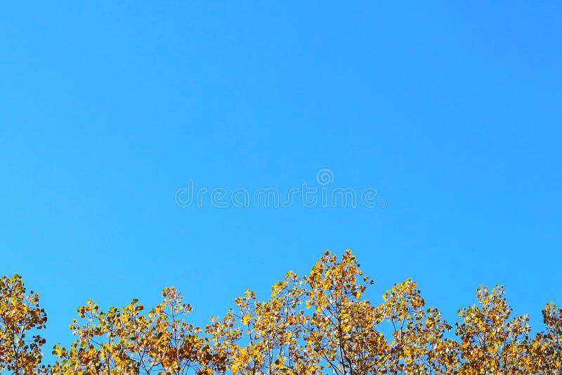 Cartão do outono com fundo azul e ramos amarelos do outono Copispeses para a inscrição Queda vibrante t dourado amarelo imagem de stock