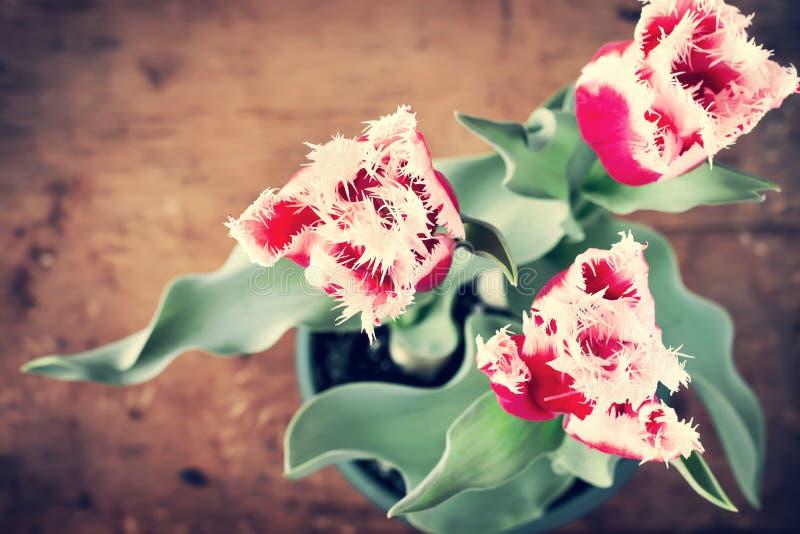 Cartão do vintage com tulipas e lugar para o texto Conceito Valenti foto de stock royalty free
