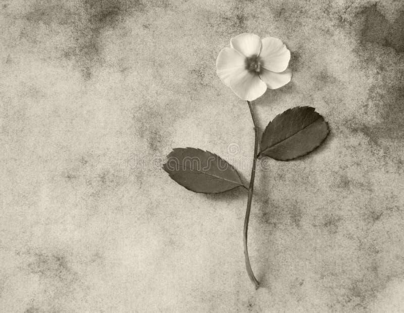 Cartão dos pêsames - flor branca foto de stock
