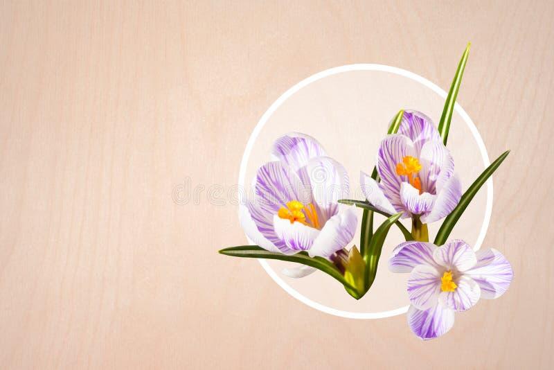 Cart?o do projeto Colagem de flores violetas brancas isoladas bonitas do açafrão Mola fotografia de stock royalty free