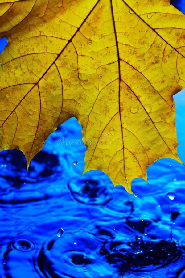 Carta da parati del fondo per le screen saver Foglia gialla di autunno sopra acqua blu durante la pioggia Spruzza e cade dell'acq fotografia stock