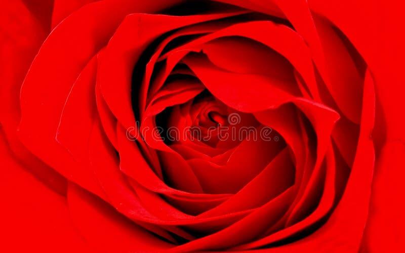Carta da parati dettagliata del fondo della rosa rossa fotografia stock libera da diritti