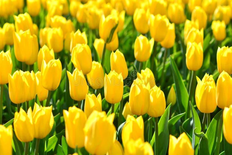 Carta da parati gialla del fondo del primo piano dei tulipani del fiore immagine stock libera da diritti