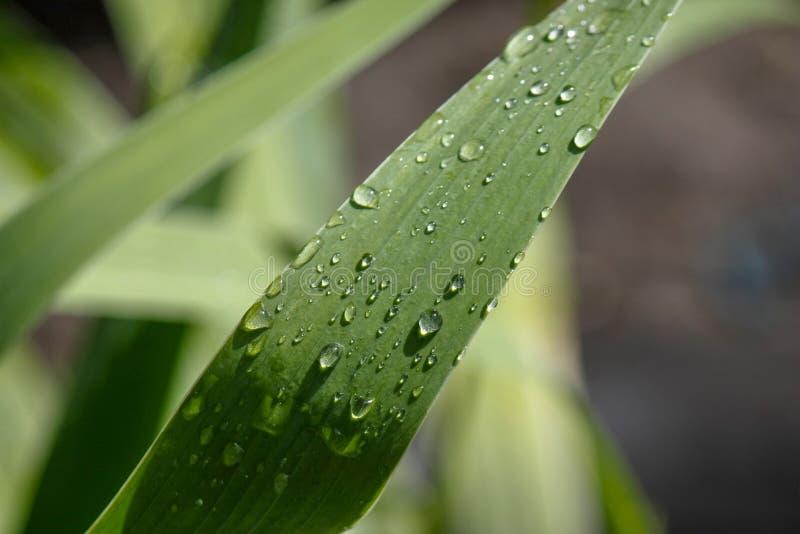 Carta da parati, goccioline di acqua sulle foglie Sfondo naturale, acqua e foglie verdi con la rugiada di mattina dopo pioggia Pr immagini stock libere da diritti