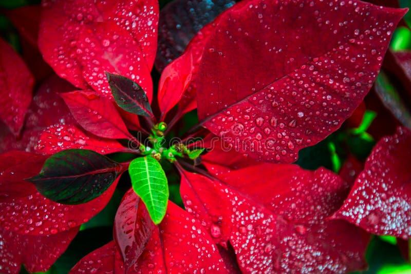 Carta da parati poinsety del fiore rosso del fondo di Natale fotografie stock libere da diritti