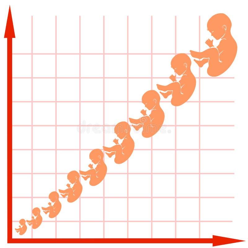 Carta de crescimento humana do feto ilustração do vetor