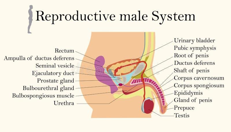 Carta de la educación de la biología para el diagrama de sistemas reproductivo masculino ilustración del vector