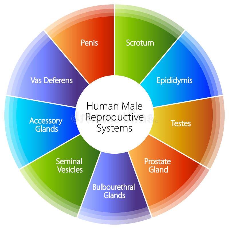 Carta de sistemas reproductivos masculina humana ilustración del vector