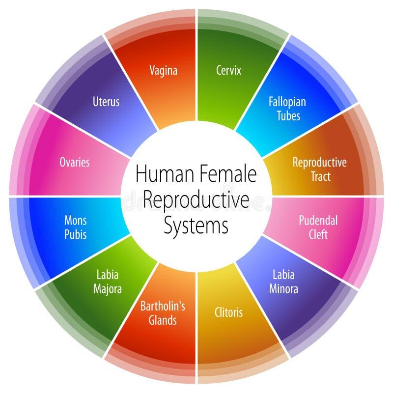 Carta de sistemas reprodutivos fêmea humana ilustração royalty free