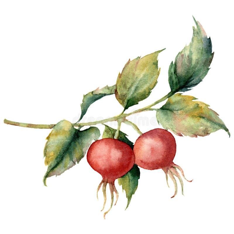 Carta dell'acquerello con il ramo della rosa canina, delle bacche rosse e delle foglie verdi Rovo dipinto a mano ed anche isolati illustrazione di stock