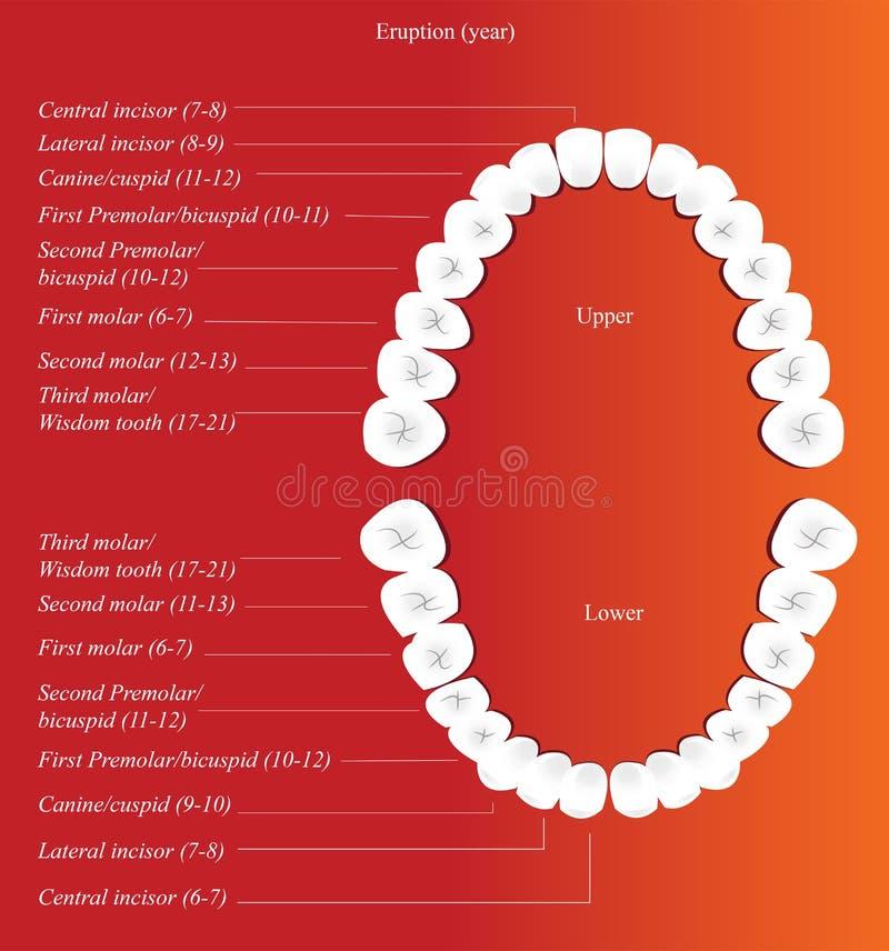 Carta dental adulta ilustração do vetor