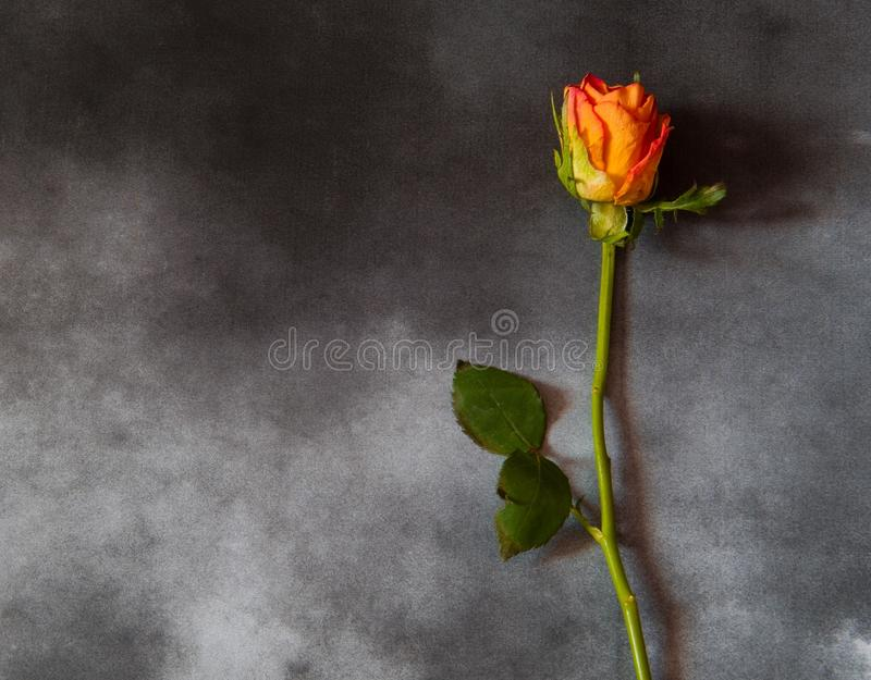 Carta di condoglianza con la rosa di giallo fotografia stock