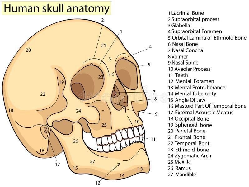 Carta médica da educação do diagrama humano do crânio da biologia quadriculação Educação médica básica do fundo branco dianteiro  ilustração do vetor