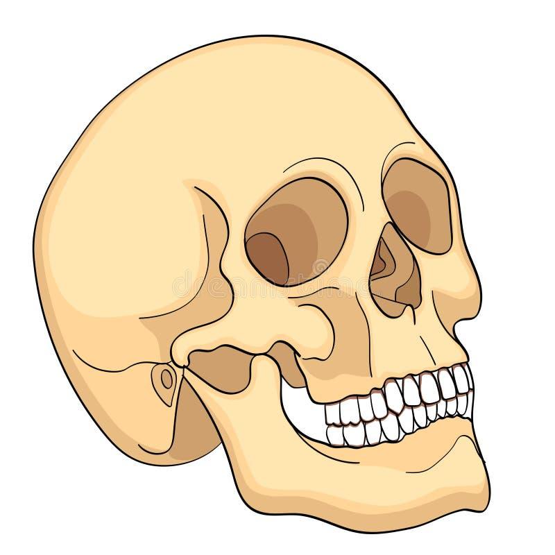 Carta médica da educação do diagrama humano do crânio da biologia Vetor Educação médica básica do fundo branco dianteiro do aspec ilustração stock