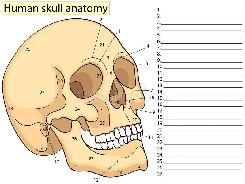 Carta médica da educação do diagrama humano do crânio da biologia Vetor Educação médica básica do fundo branco dianteiro do aspec ilustração royalty free