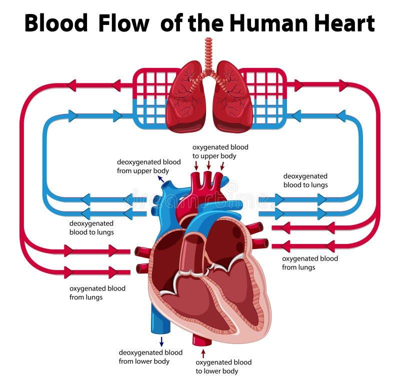 Carta que mostra a circulação sanguínea do coração humano ilustração royalty free