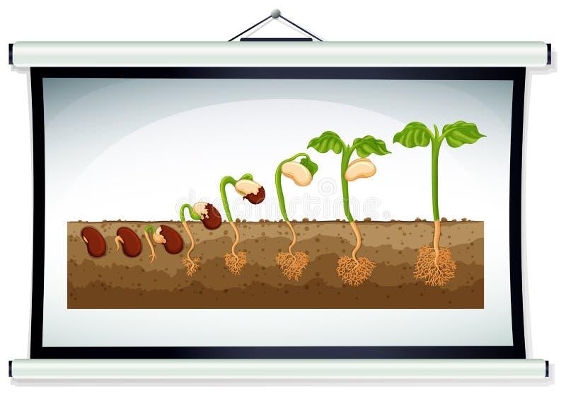 Carta que mostra o crescimento da planta ilustração royalty free