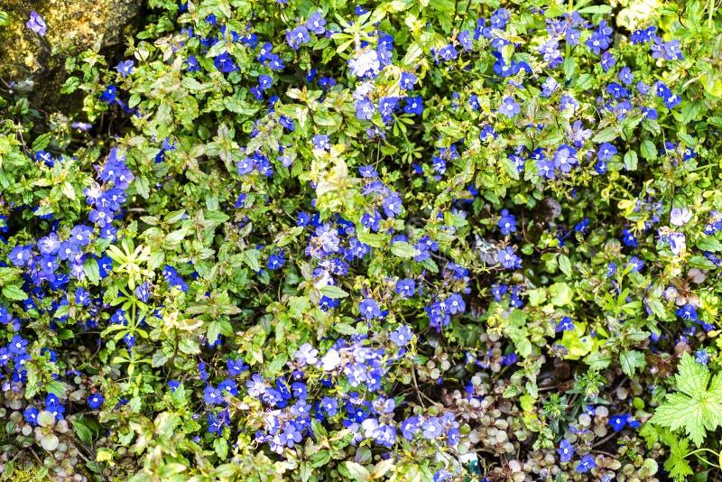 Cartaz azul da flor com folhas verdes fotografia de stock royalty free