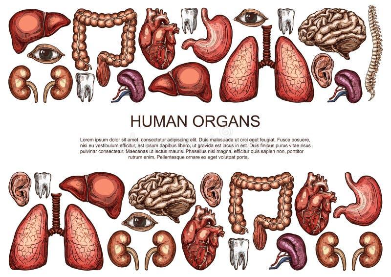 Cartaz da anatomia do corpo do esboço do vetor dos órgãos humanos ilustração do vetor