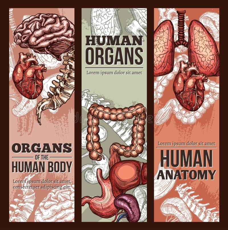 Cartaz da anatomia do esboço do vetor dos órgãos humanos ilustração do vetor