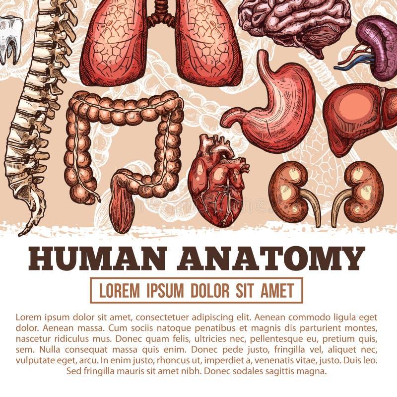 Cartaz do esboço do vetor da anatomia dos órgãos humanos ilustração stock